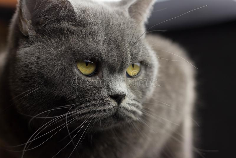 画象邪恶的大灰色猫英国平直 图库摄影