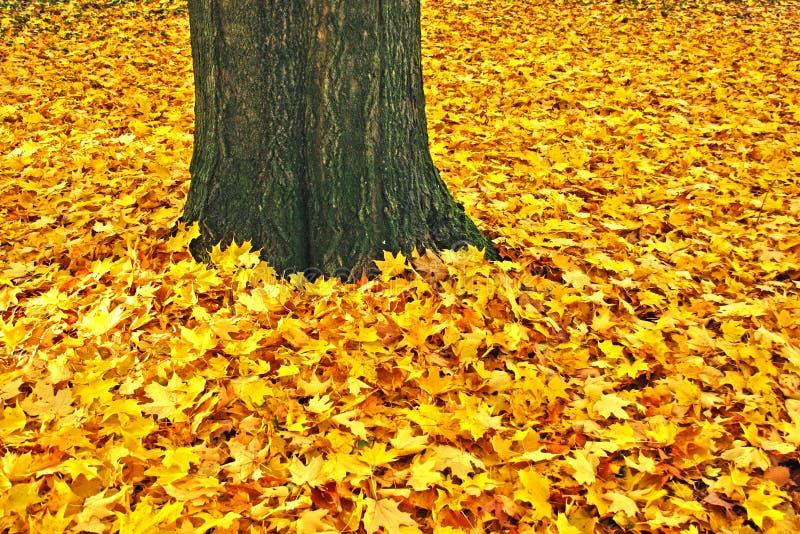 留下枫糖树干黄色 库存照片