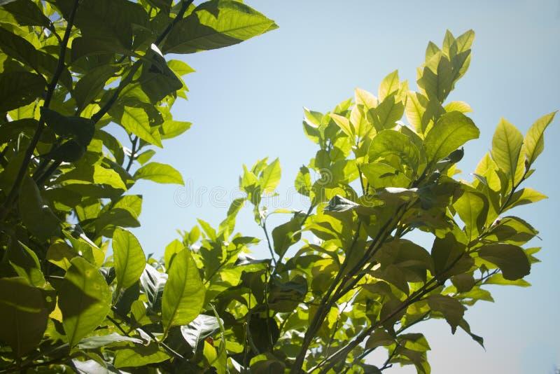 留下柠檬树 免版税库存图片