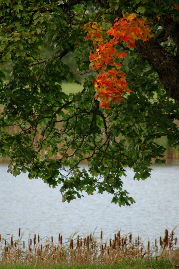 留下槭树红色结构树 免版税图库摄影