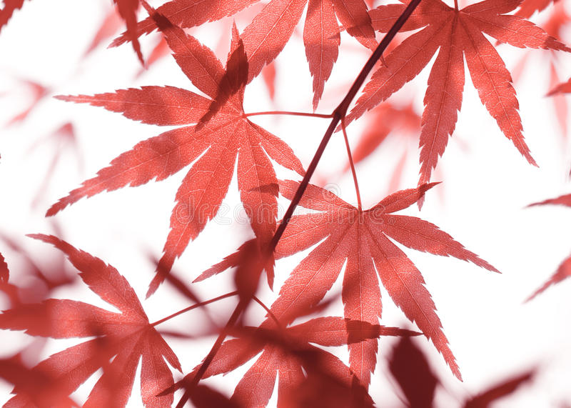 Download 留下槭树红色 库存照片. 图片 包括有 附加, 结构树, 关闭, 重点, 日本, 秋天, 叶子, brander - 72354032
