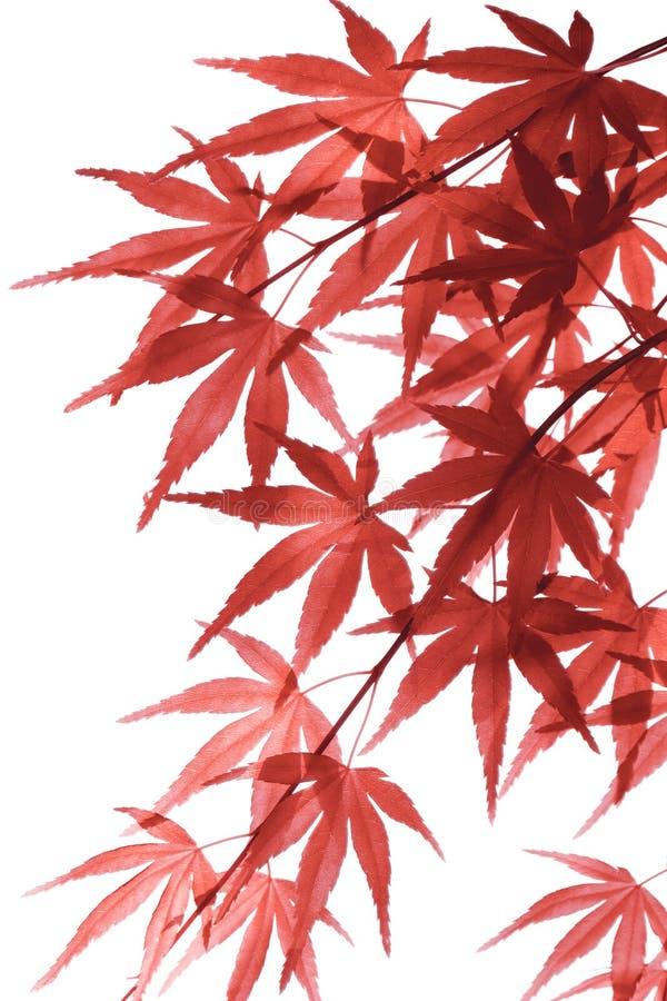 Download 留下槭树红色 库存照片. 图片 包括有 秋天, 日语, 更改, 摄影, 附加, 重点, beauvoir - 72354206