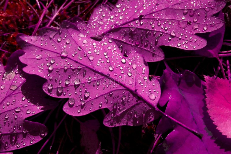 留下紫色含毒物 免版税图库摄影