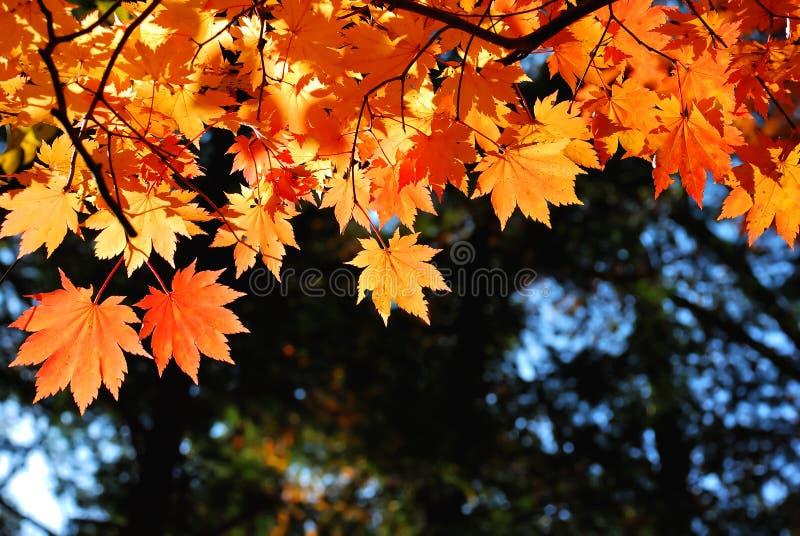 留给槭树红色黄色 免版税库存图片
