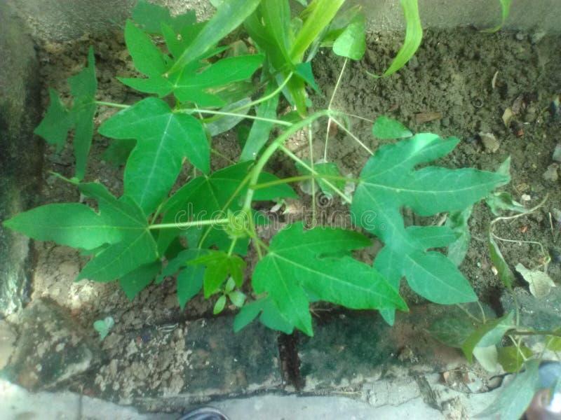 番木瓜植物 库存图片