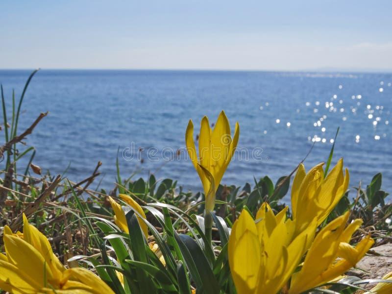 番红花在蓝色爱琴海背景开花 免版税库存照片