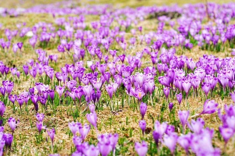 番红花无格式sativus 库存照片