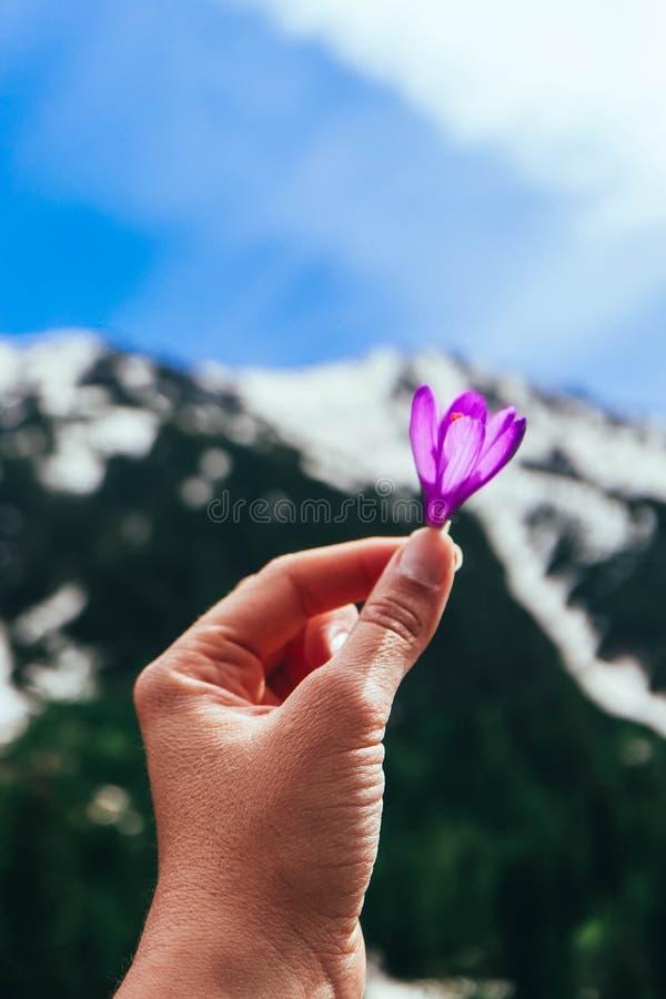 番红花明亮的紫罗兰色春天花在手上,山自然 库存图片