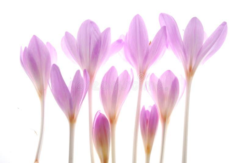 番红花粉红色 库存图片