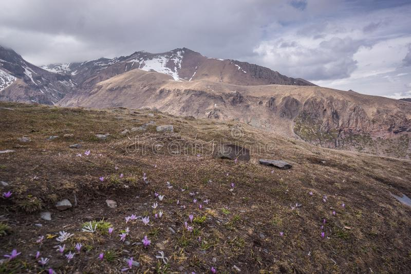 番红花花卉生长在小山顶 图库摄影