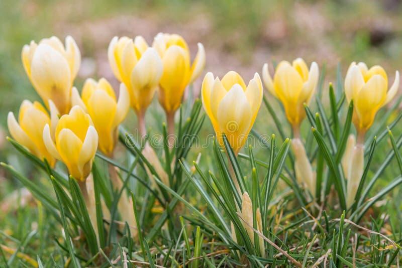 番红花花在绿草的早期的春天 库存照片