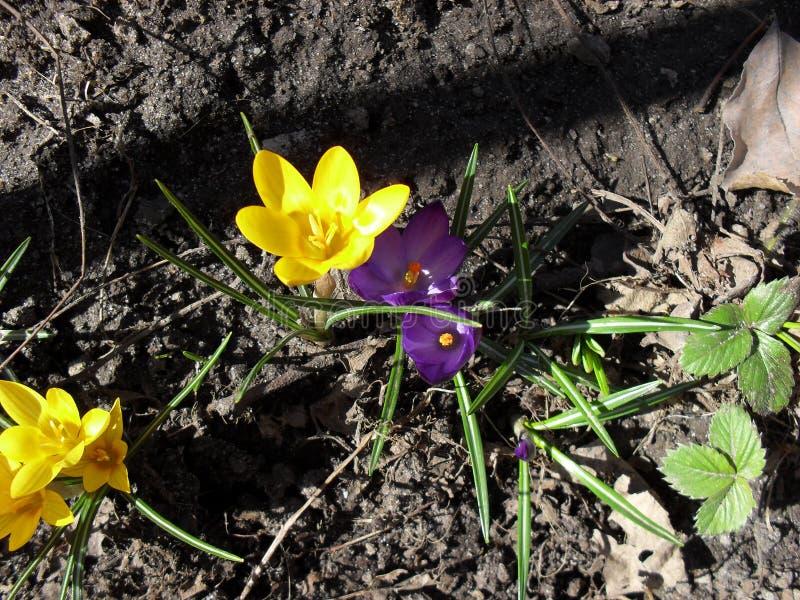 番红花花黄色和紫色春天绽放在庭院里 免版税图库摄影