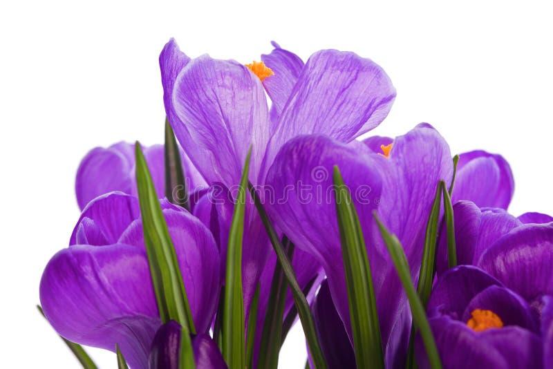 Download 番红花野花植物 库存图片. 图片 包括有 绿色, 玻色子, 精美, 题头, 庭院, 行军, 任意, 查出 - 30327461