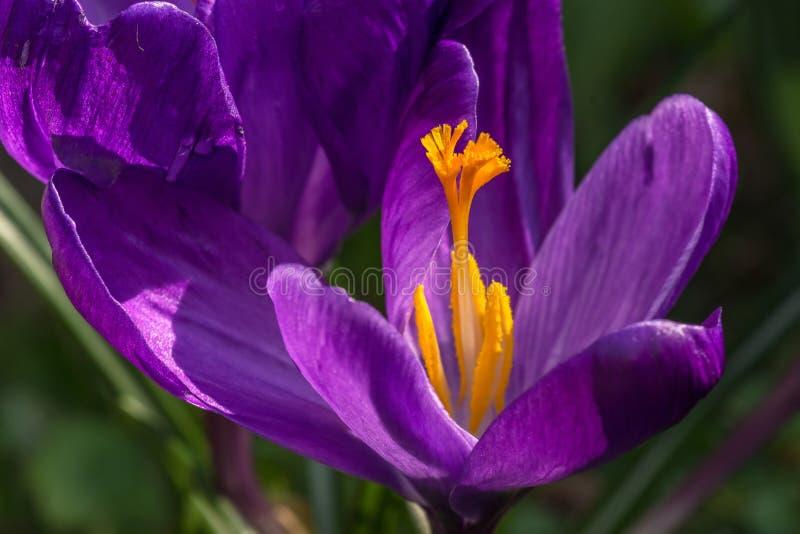 番红花雌蕊和它的泪花 库存照片