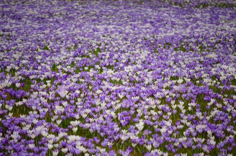 番红花领域 库存图片