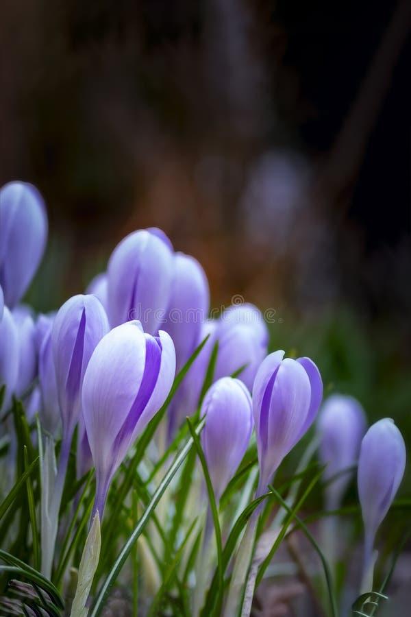 番红花,春天,宏指令,拷贝空间的梦想的浪漫图象紫罗兰色花  免版税图库摄影