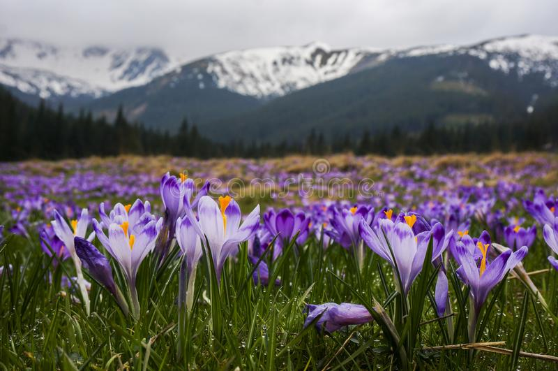 番红花, Chocholowska谷, Tatras山,波兰 库存图片