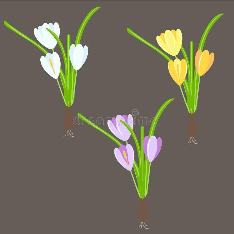 番红花 黄色 蓝色,紫罗兰色春天花,在黑背景的绿色叶子 库存例证