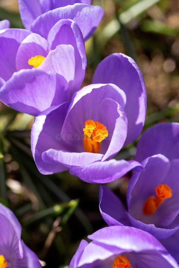 番红花vernus花在庭院里 免版税库存照片