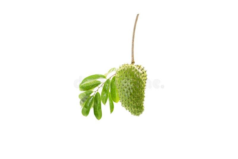 番荔枝科muricata果子绿色新白色背景 免版税库存照片
