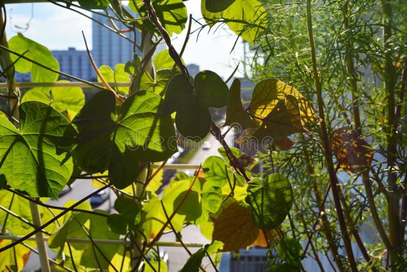 番薯属和cosmea叶子在阳台的小都市庭院里 家庭绿化在有上升和开花植物的城市 免版税库存图片
