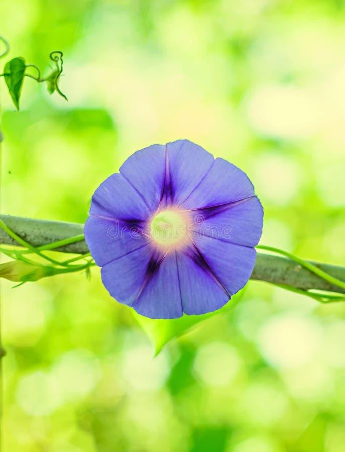 番薯属purpurea淡紫色蓝色花,紫色,高 库存图片