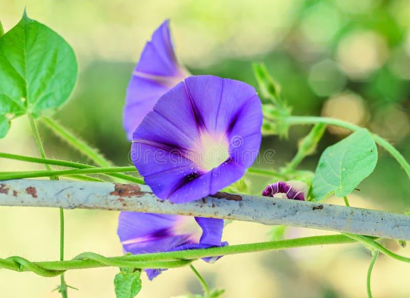 番薯属purpurea淡紫色蓝色花,紫色,高 库存照片
