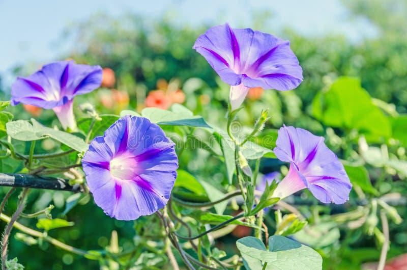 番薯属purpurea淡紫色,桃红色花,紫色,高或者共同的牵牛花,关闭 免版税库存照片