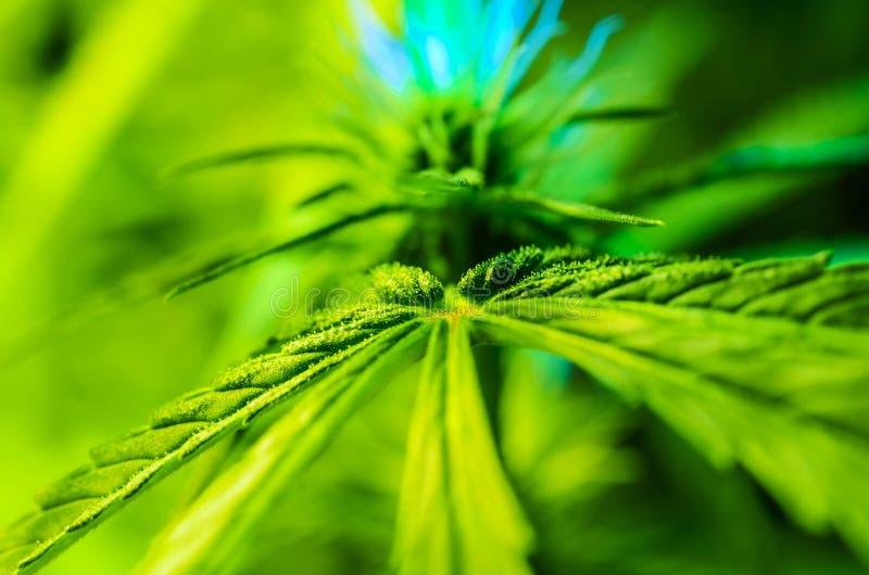 年轻医疗大麻厂 免版税库存图片