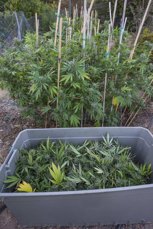 医疗大麻收获 免版税库存图片