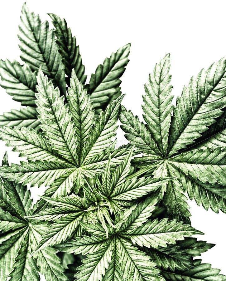 医疗大麻杂草叶子 图库摄影
