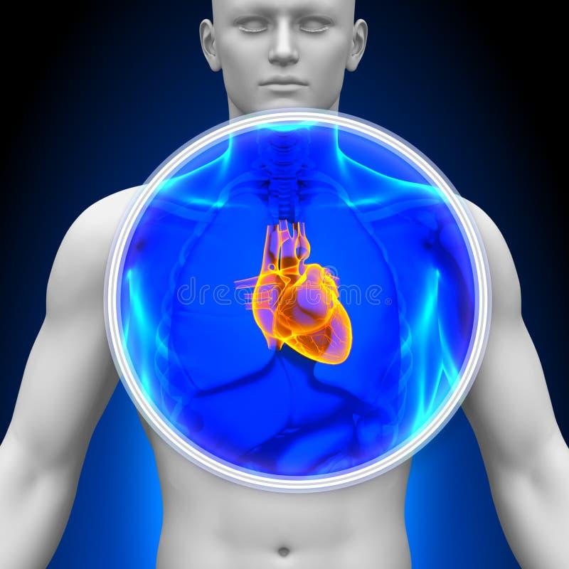 医疗X-射线扫描-心脏 皇族释放例证