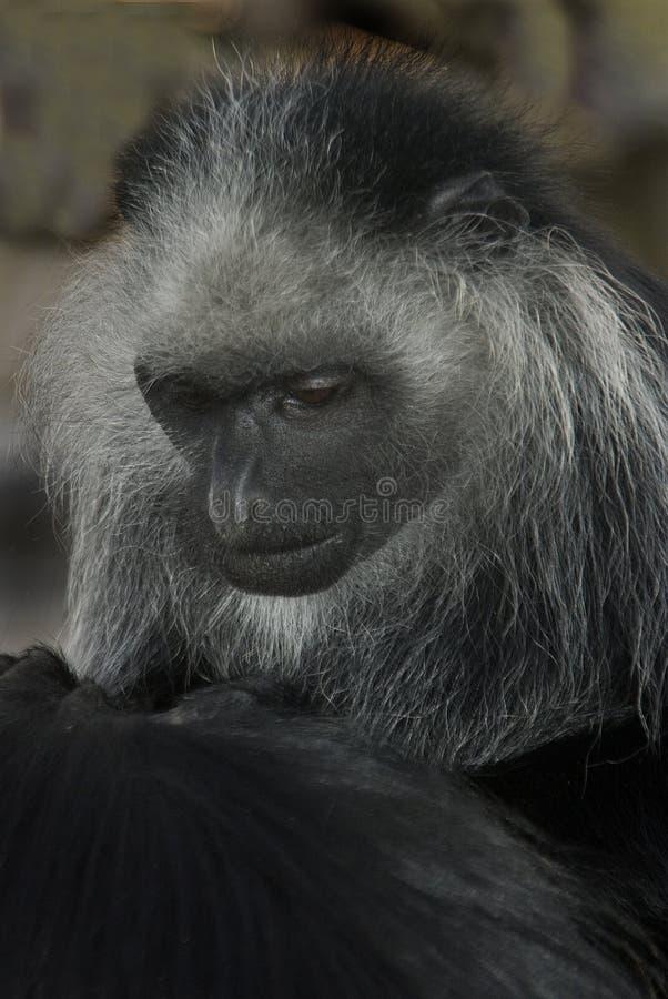 疣猴国王猴子 库存图片