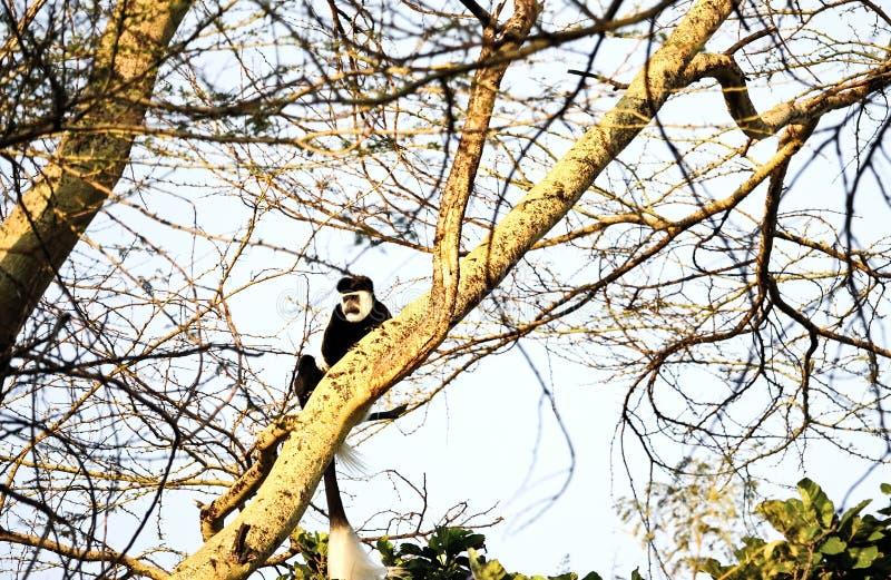 疣猴猴子在肯尼亚 免版税库存照片