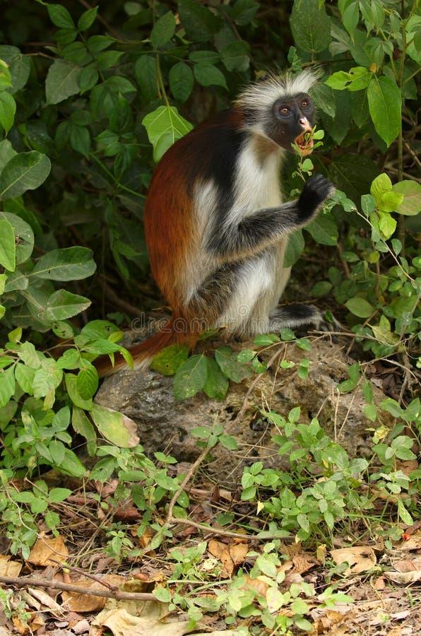 疣猴红色桑给巴尔 免版税图库摄影