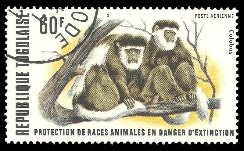 疣猴 免版税图库摄影