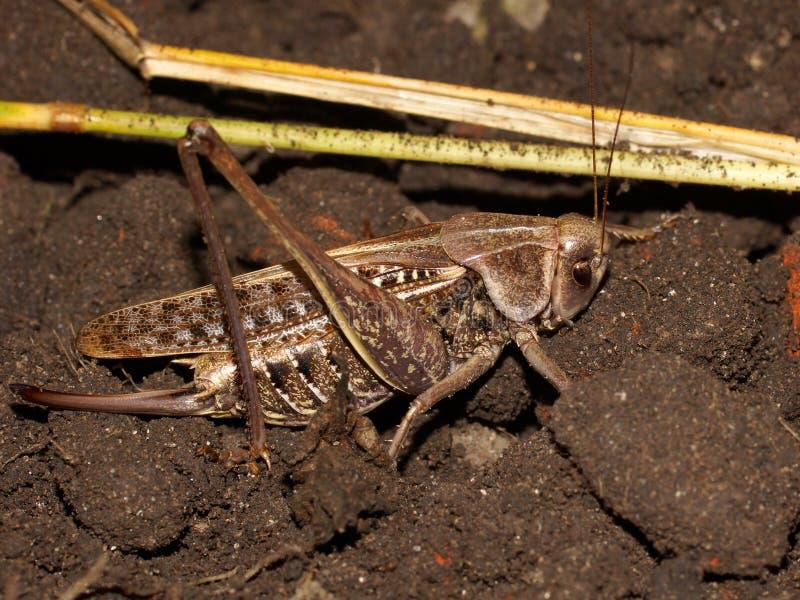 疣骗子Decticus verrucivorus是在家庭蚱蜢的一只灌木蟋蟀 免版税图库摄影