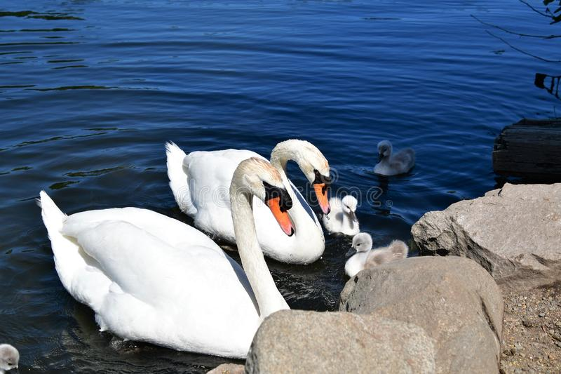 疣鼻天鹅在池塘的家庭游泳 库存照片