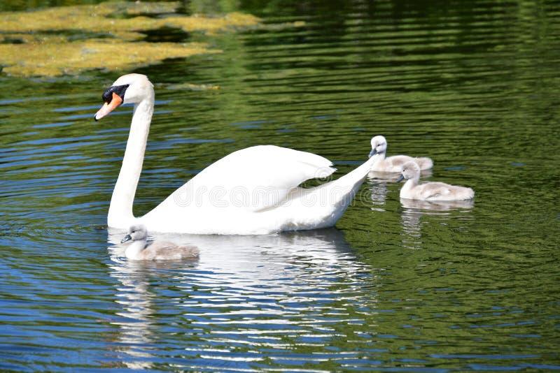 疣鼻天鹅在池塘的家庭游泳 免版税图库摄影
