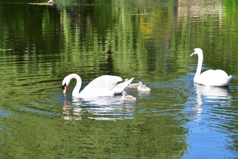 疣鼻天鹅在池塘的家庭游泳 免版税库存照片