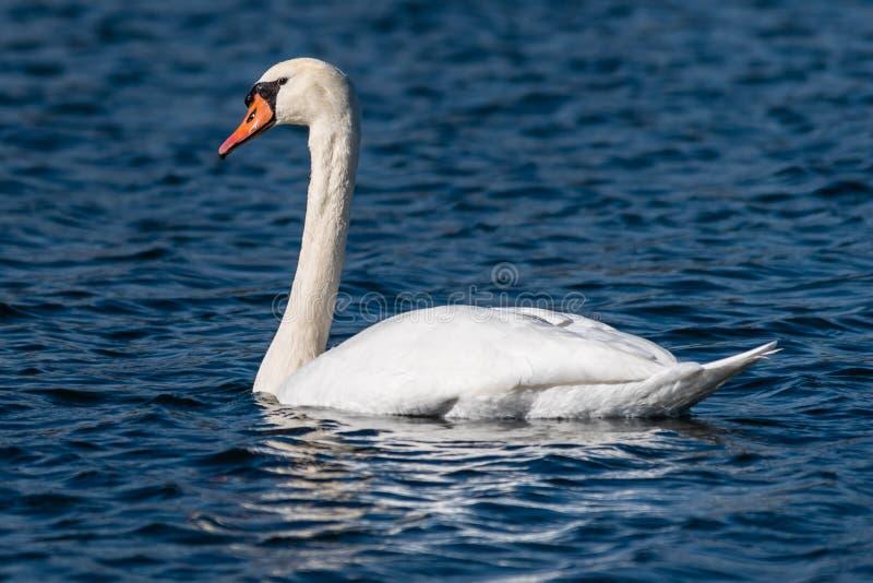 疣鼻天鹅天鹅座olor在横幅沼泽,伊利诺伊 图库摄影