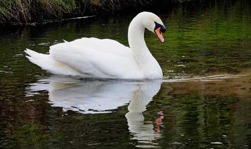 疣鼻天鹅或天鹅座olor 免版税库存图片