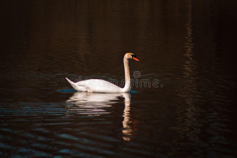 疣鼻天鹅游泳在池塘 库存图片