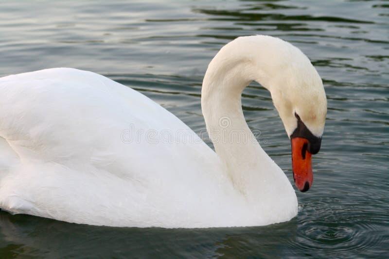 疣鼻天鹅天鹅座Olor游泳和哺养在湖 库存照片