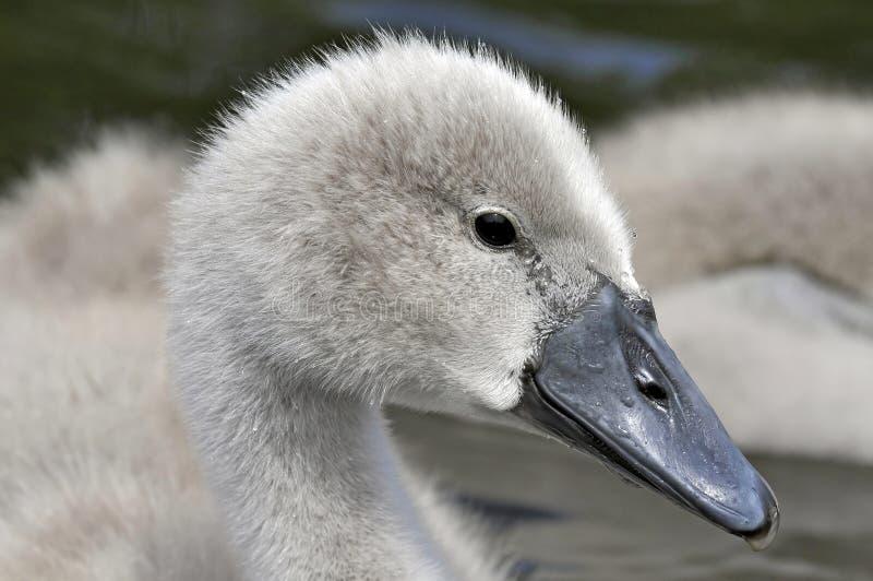 年轻疣鼻天鹅小鸡 库存照片