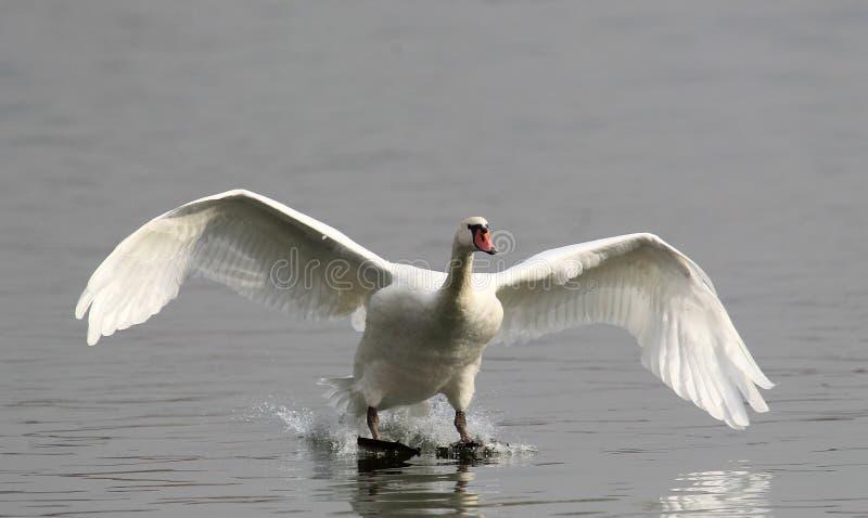 疣鼻天鹅着陆 库存照片