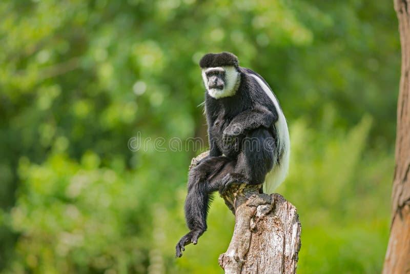 疣猴guereza覆盖了 图库摄影