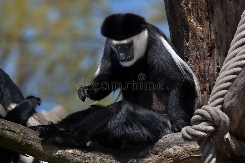 疣猴guereza覆盖了 免版税图库摄影