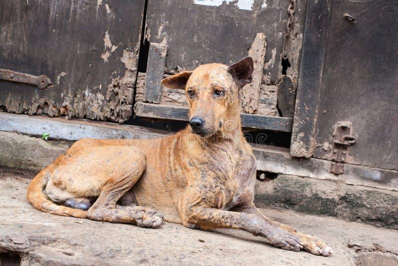 疥癣的狗-东印度 免版税图库摄影