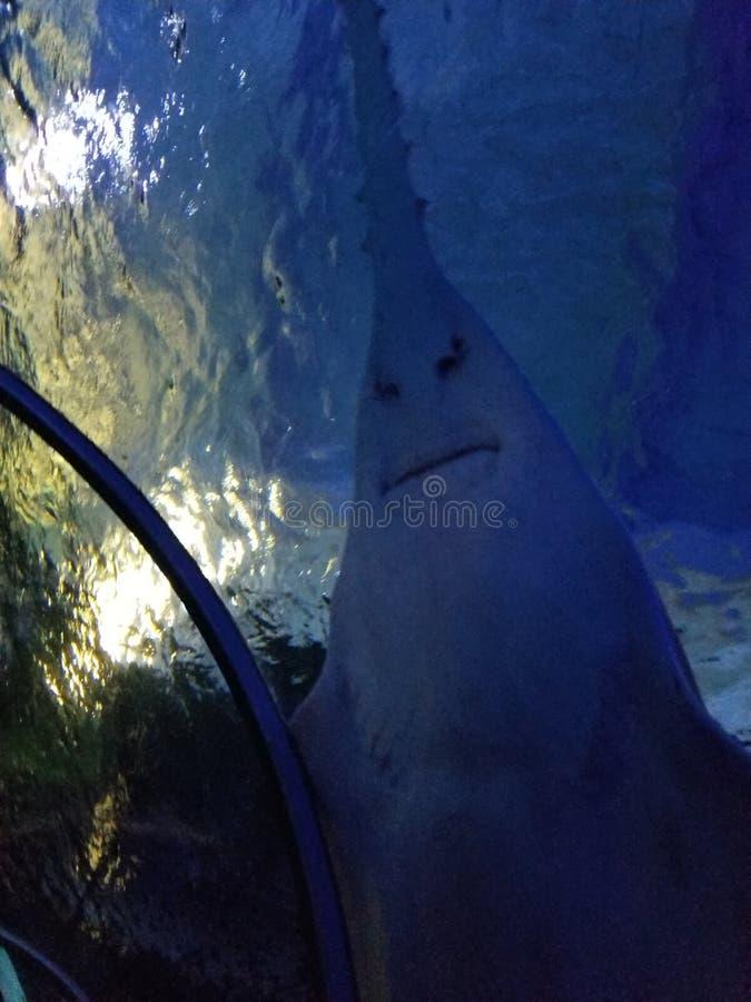 疯狂的鲨鱼 免版税图库摄影